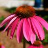 Equinácea púrpura - Sobre 100 semillas