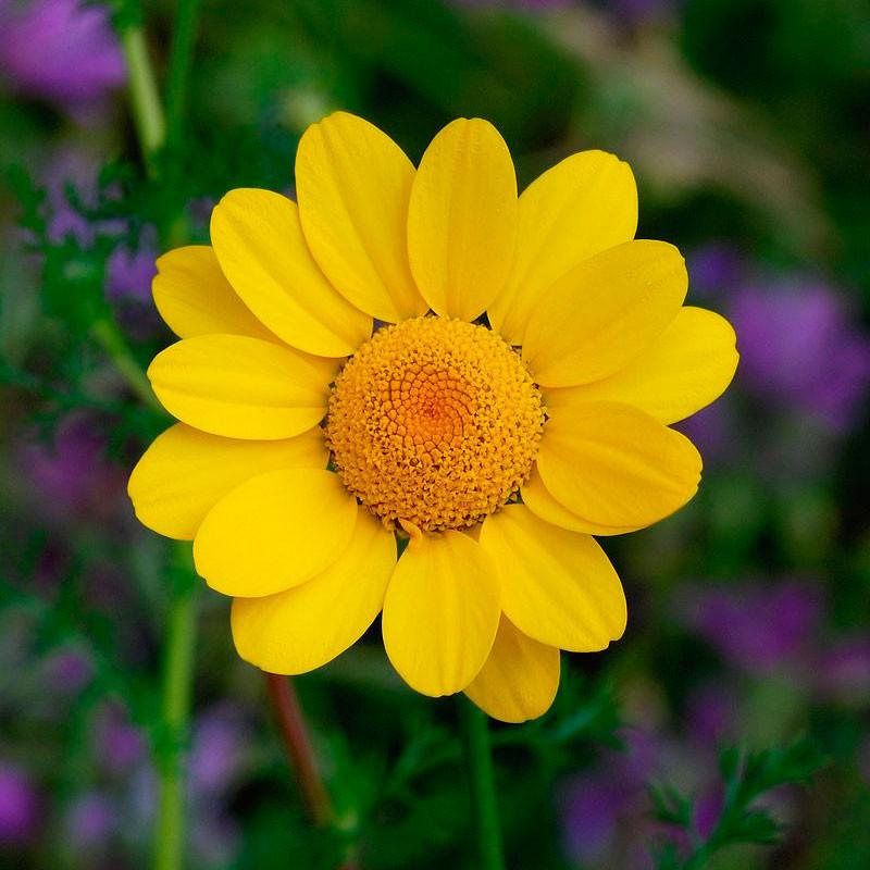 Margarita dorada semillas