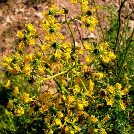 Ruda de hoja fina angustifolia semillas