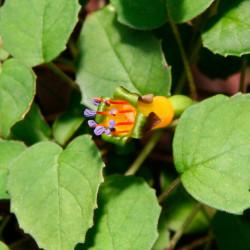 Fucsia rastrera semillas