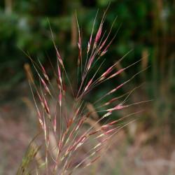 Chrysopogon gryllus semillas