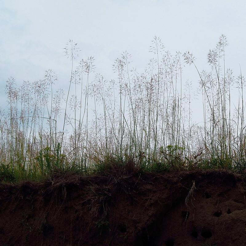 andropogon gryllus semillas