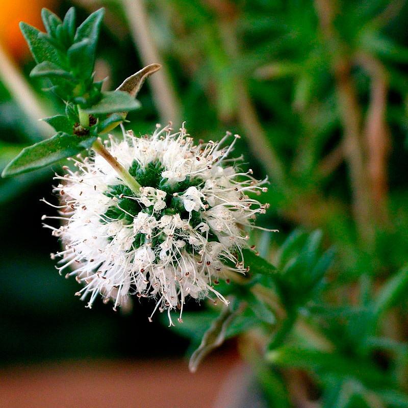 mentha cervina semillas