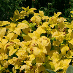 Melisa hojas doradas semillas