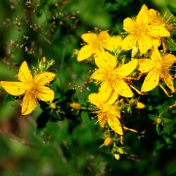 Hypericum perforatum semillas