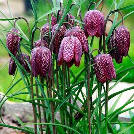 Fritillaria meleagris semillas