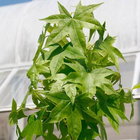 liquidambar styraciflua semillas