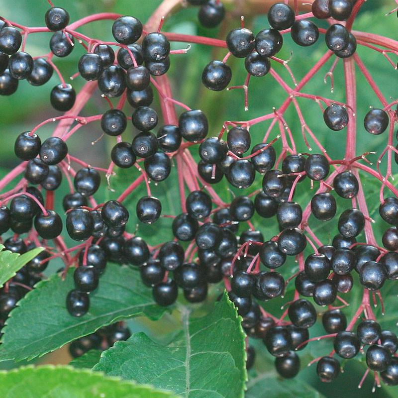 sambucus nigra semillas