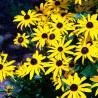 Equinácea amarilla - Sobre 15 semillas