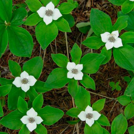 Cornus canadensis semillas