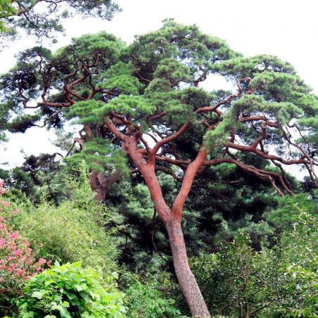 Pino rojo japonés Pinus densiflora semillas