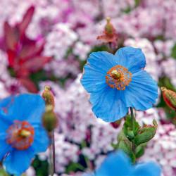 Amapola azul del Himalaya semillas