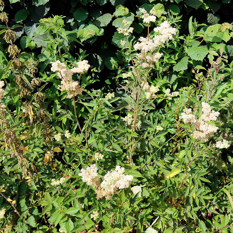 Ulmaria semillas