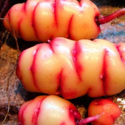 Oxalis tuberosa papa oca comprar