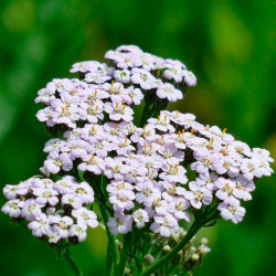 Milenrama - Sobre 200 semillas
