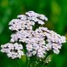 Milenrama - Sobre 400 semillas