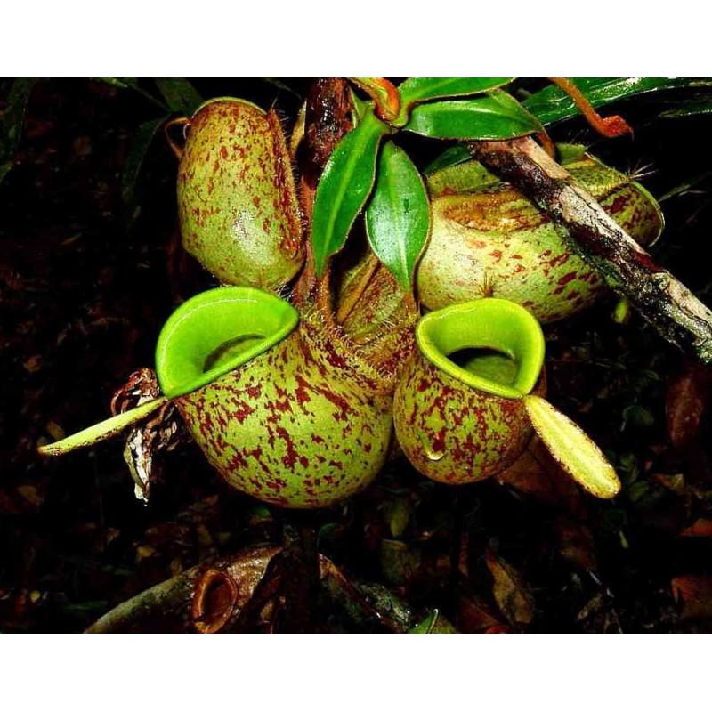 Nephentes ampullaria