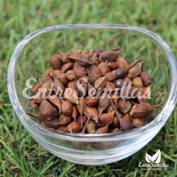 Arce azucarero semillas acer saccharum