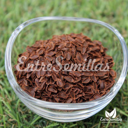 Asclepias curassavica semillas