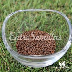 Belladona  semillas Atropa bella-donna