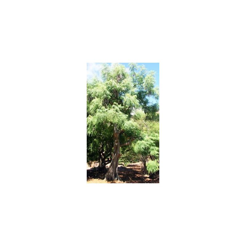 Moringa stenopetala