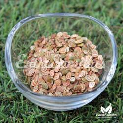 Chirivía semillas pasticana sativa