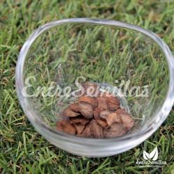 Cobea morada semillas cobaea scandens