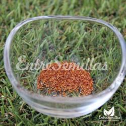 Hierba limón semillas Cymbopogon flexuosus