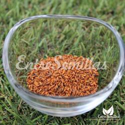 Hierba pastel semillas Isatis tinctoria