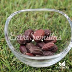 Jojoba semillas Simondsia chinensis