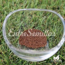 mentha aquatica semillas