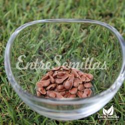 Noni semillas Morinda citrifolia