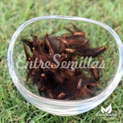 Protea cynaroides 'Verano' semillas
