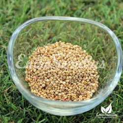 Quinoa semillas para siembra