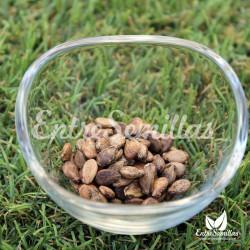 Sandía Sugar Baby semillas
