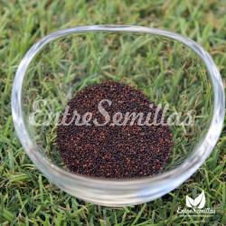 Tomillo semillas Thymus vulgaris