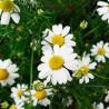 Manzanilla romana - Sobre 200 semillas