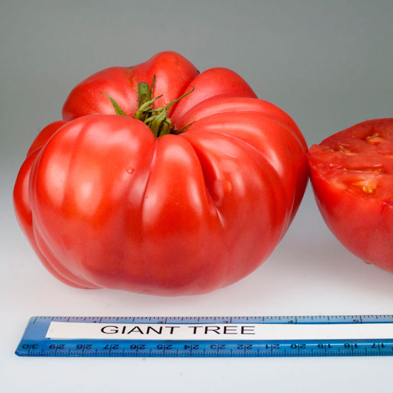 Tomate Giant Tree semillas