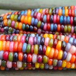Maíz colores arcoíris semillas