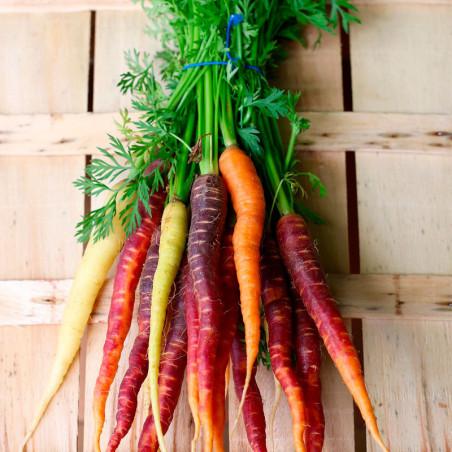 Zanahoria colores arcoíris semillas
