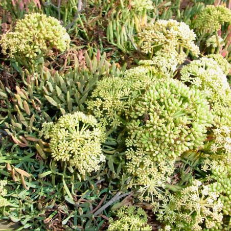 Hinojo marino semillas