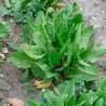 Acedera - Sobre 200 semillas