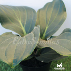 Medinilla magnifica planta