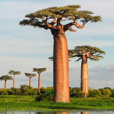 Baobab grandidieri semillas