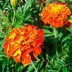 semillas de Tagetes Bolero