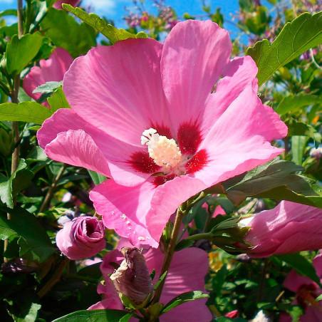 semillas Hibiscus syriacus