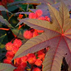 semillas Ricino rojo