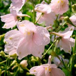 Espuela de Caballero Rosa semillas