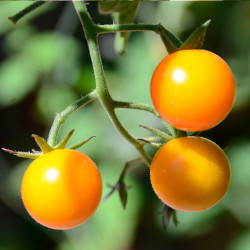 Tomate cherry amarillo pepita de oro semillas