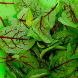 Acedera roja sanguínea semillas